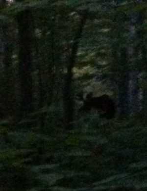 June 5th Moose Before Breakfast Long Trail Planning
